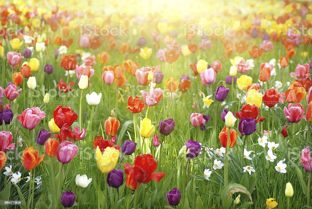 Meadow of brightly colored tulips stock photo