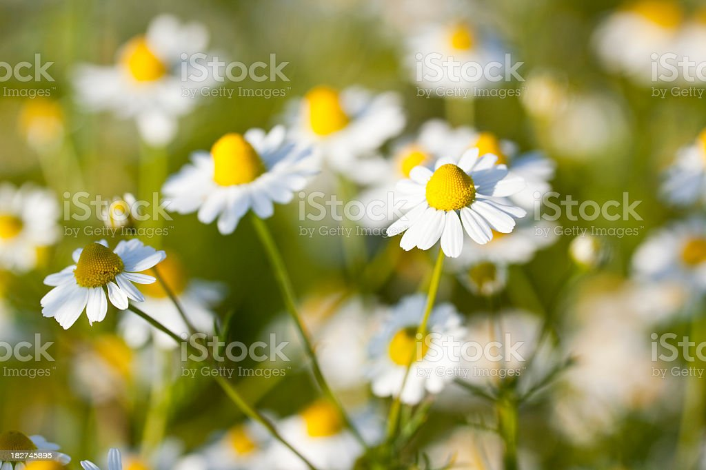 Meadow of camomile flowers royalty-free stock photo