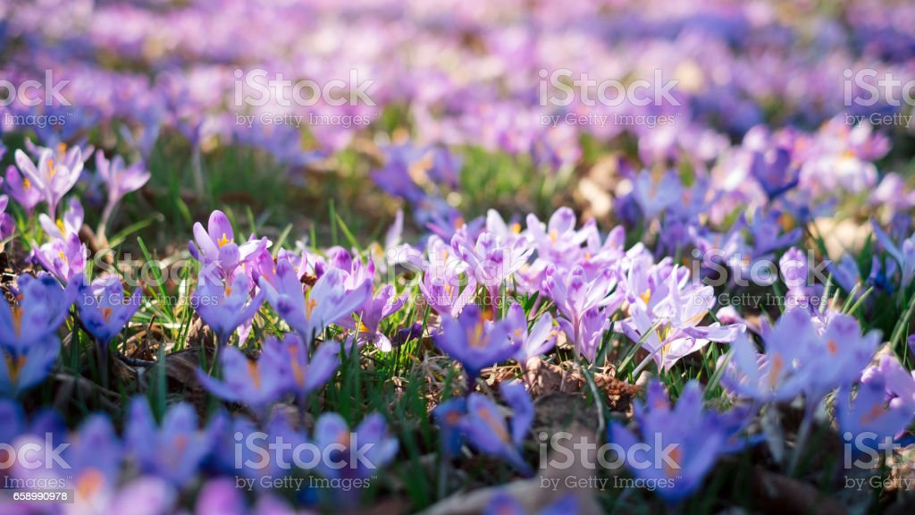 Meadow of crocus flowers in the spring forest stock photo