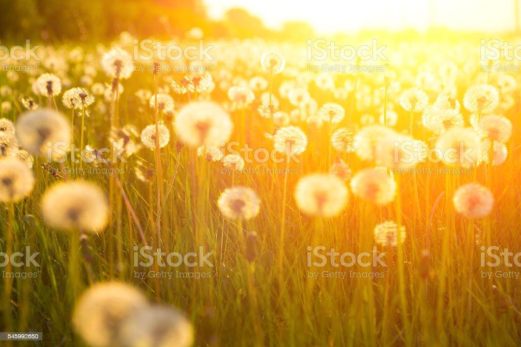 Meadow Of Dandelions to Make Dandelion Wine. stock photo