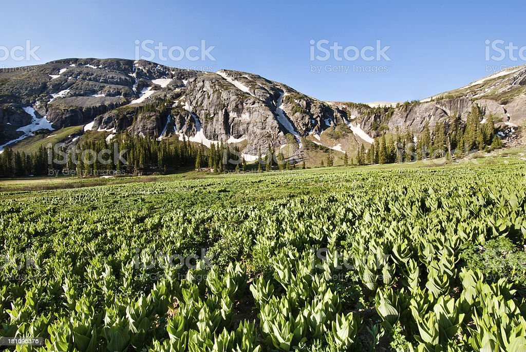 Meadow of False Hellebore royalty-free stock photo