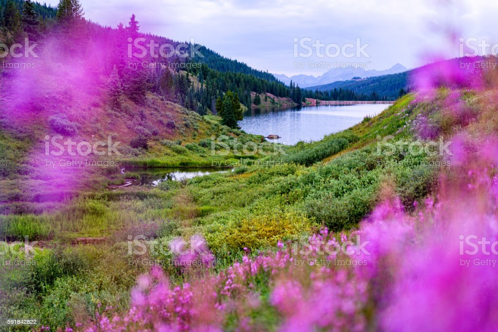 Meadow of Fireweed with Views of Gore Range Mountains Vail stock photo