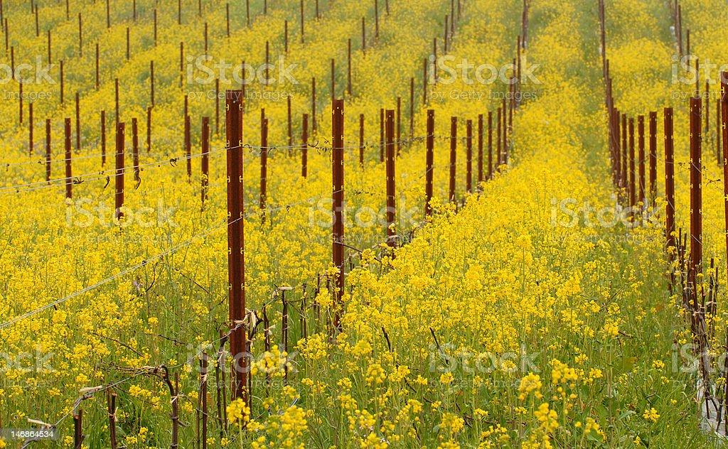 Meadow of flowering mustard plants in California stock photo