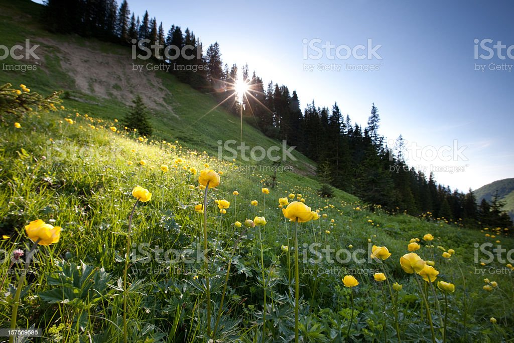 meadow of globeflower in backlight royalty-free stock photo