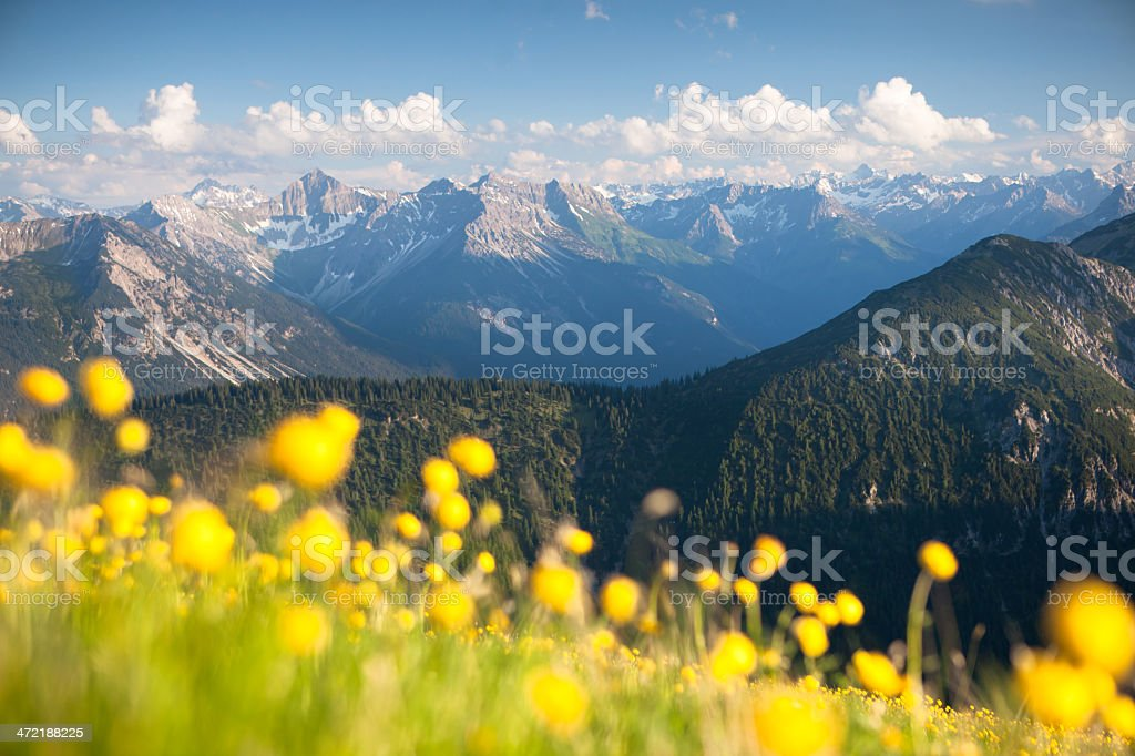 meadow of globeflower with view on the lechtaler alps stock photo