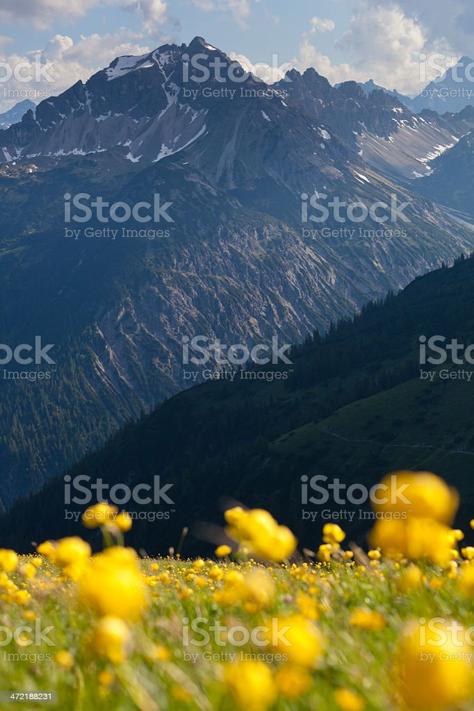 meadow of globeflower with view on the lechtaler alps royalty-free stock photo