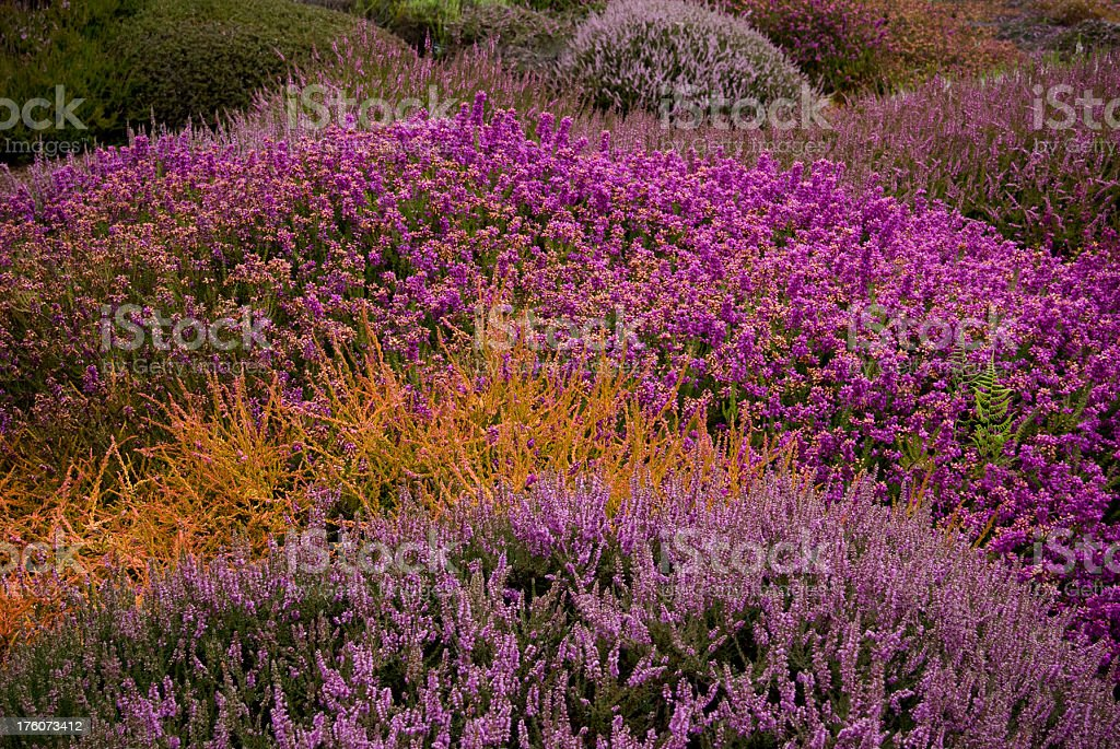 Meadow of multicolored heathers royalty-free stock photo