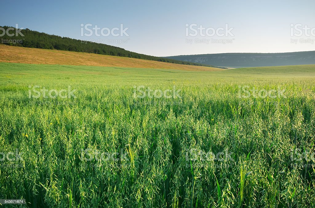 Meadow of oats. stock photo