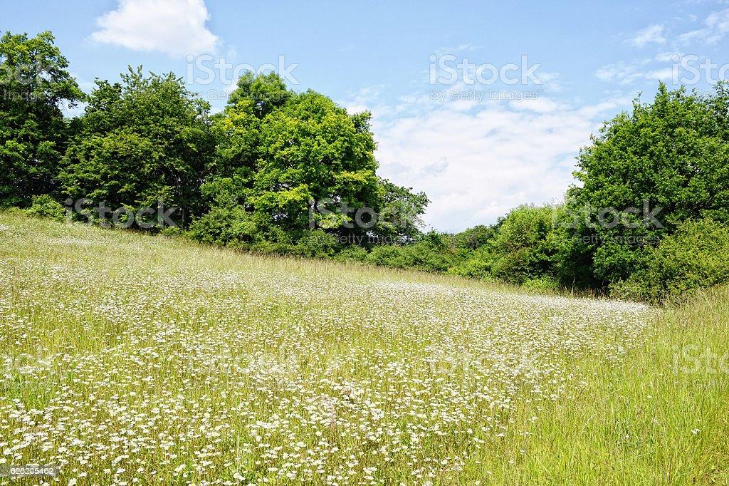 meadow of oxyeye daisy flowers on Eltz Valley (Rhineland-Palatinate, Germany) stock photo