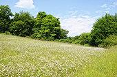 meadow of oxyeye daisy flowers on Eltz Valley (Rhineland-Palatinate, Germany)