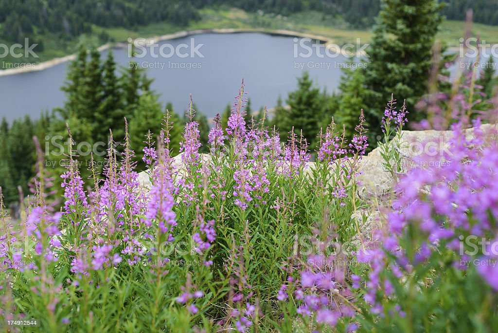 Meadow of Pink Mountain Wildflowers royalty-free stock photo