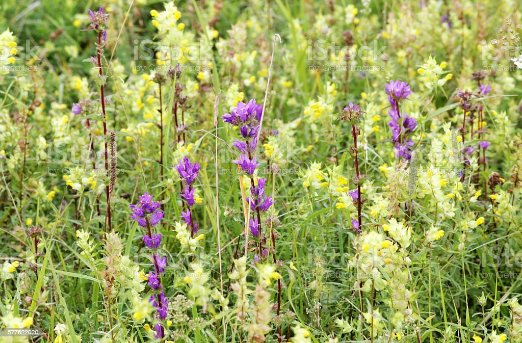meadow of purple bells Campanula and yellow Galeobdolon luteum on stock photo