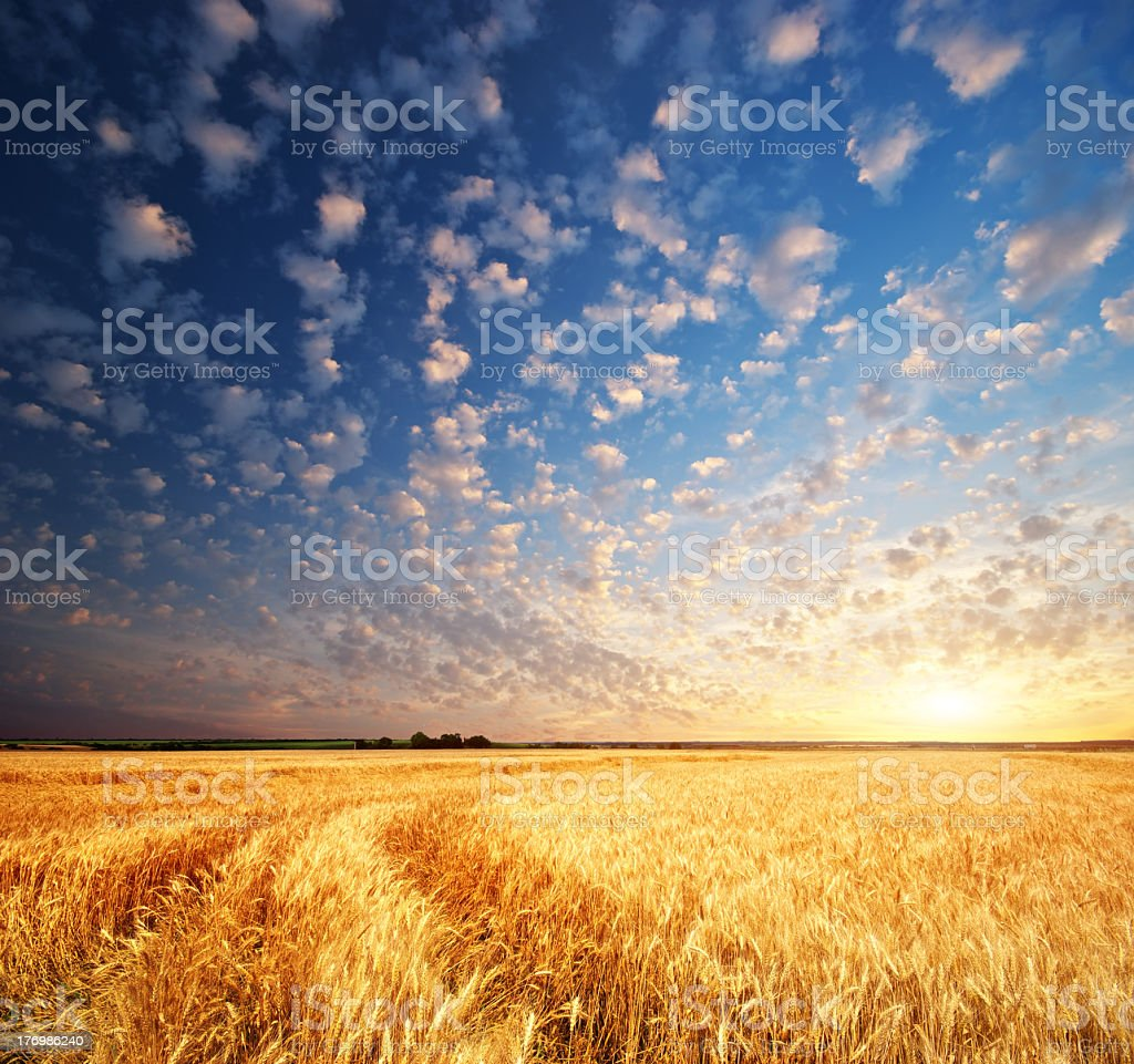 Meadow of wheat royalty-free stock photo