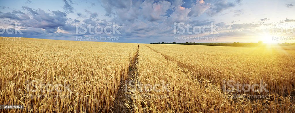 Meadow of wheat. stock photo