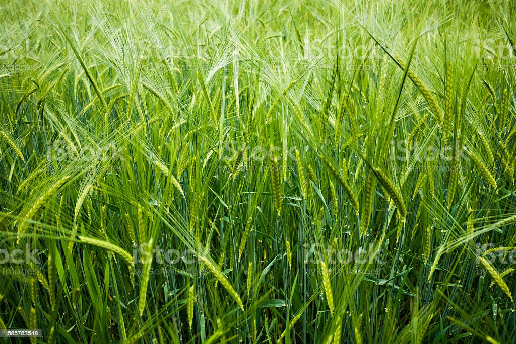 Meadow of wheat stock photo