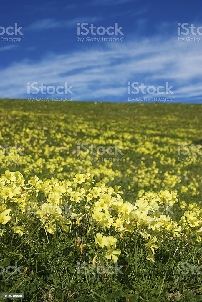 meadow of yellow clover in flower royalty-free stock photo