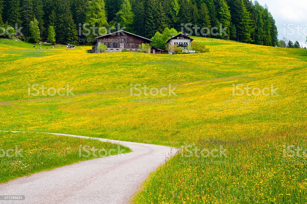 Meadow of yellow flowers royalty-free stock photo