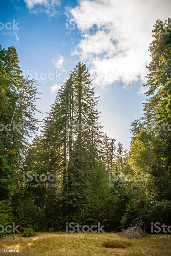 Meadow Opening Among Coast Redwoods, Big Basin State Park stock photo