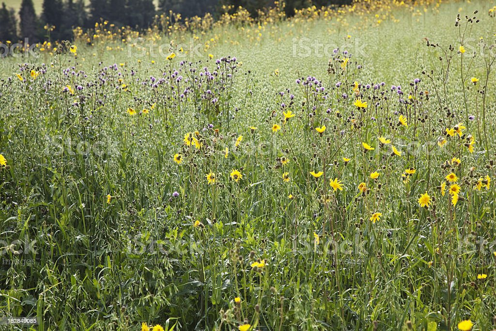 Meadow. royalty-free stock photo