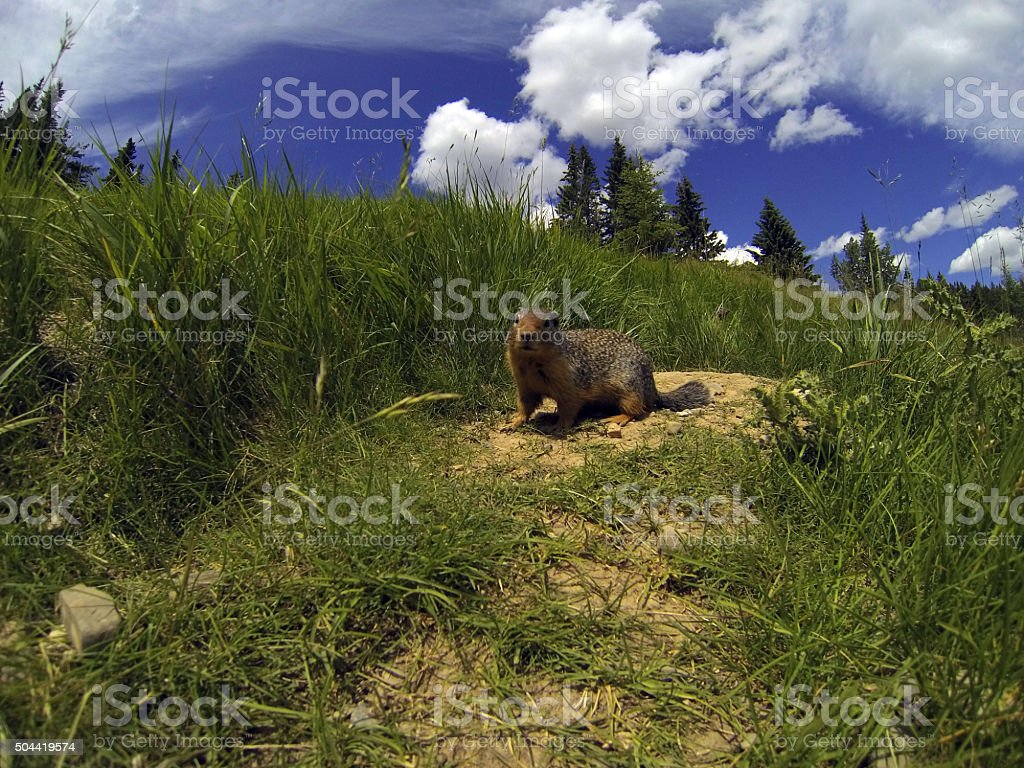 Meadow Rodent stock photo