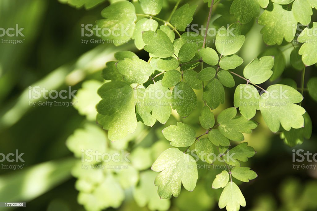 Meadow Rue leaves in late summer. royalty-free stock photo