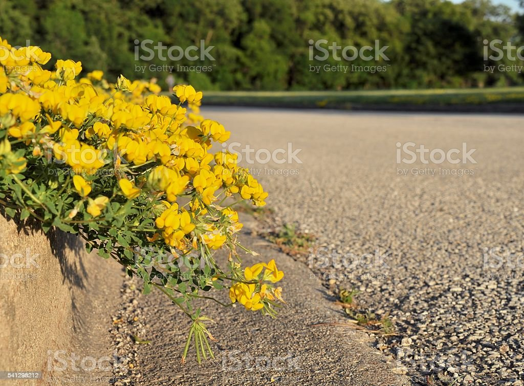 Meadow vetchling dangling off the curbstone. stock photo