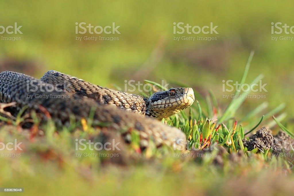 meadow viper basking in natural habitat stock photo