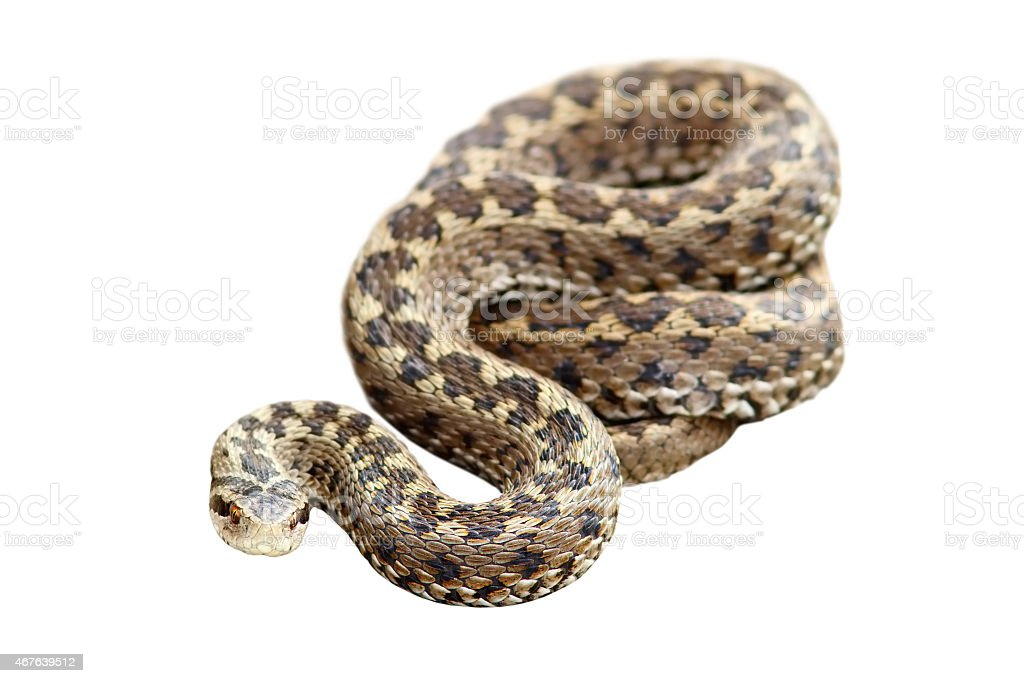 meadow viper isolated over white stock photo