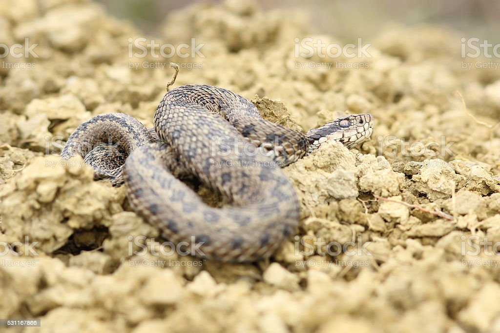 meadow viper on ground stock photo