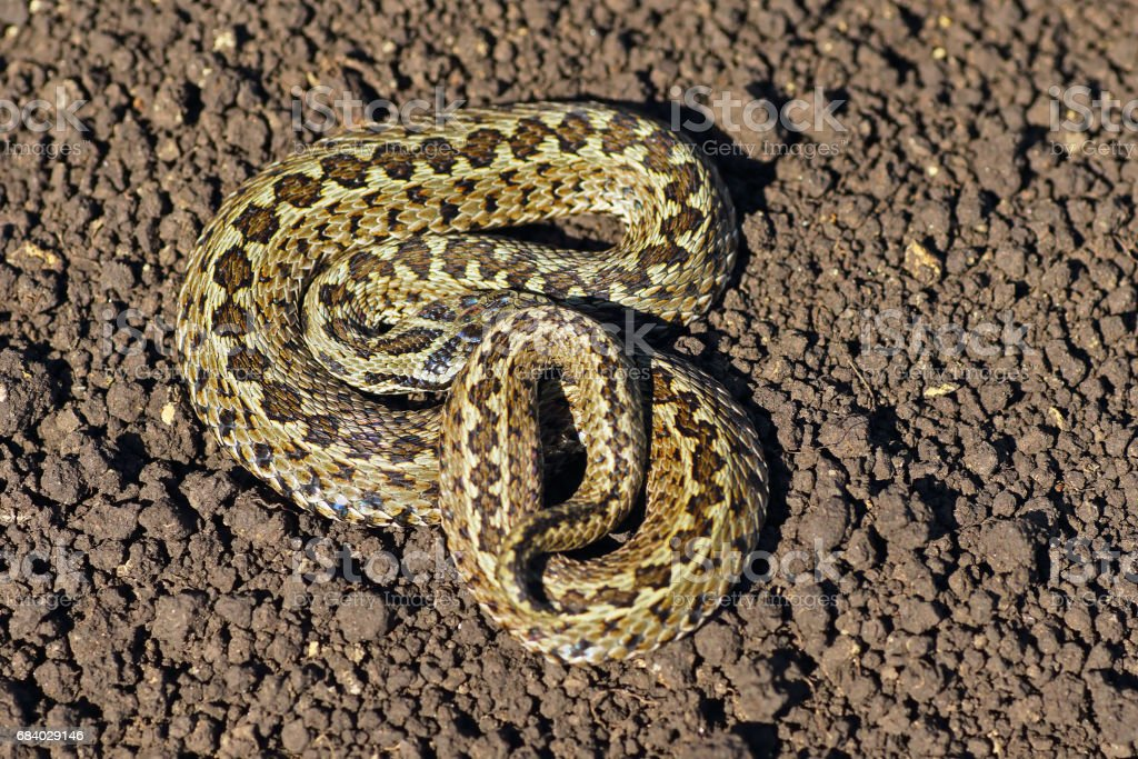 meadow viper on the ground stock photo