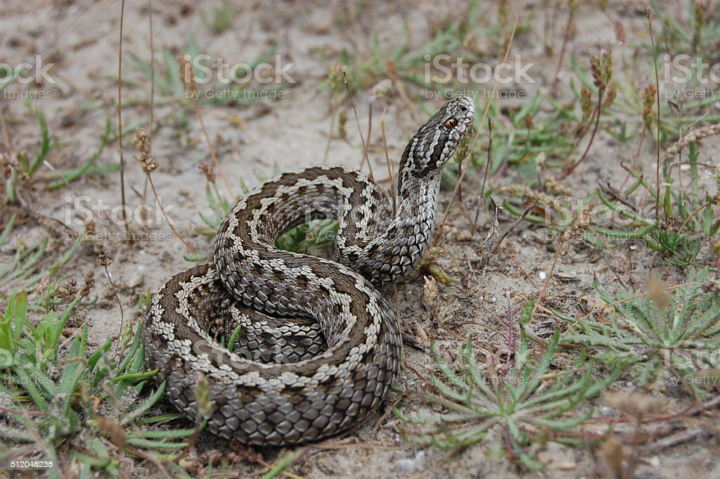 Meadow viper (Vipera ursinii) stock photo
