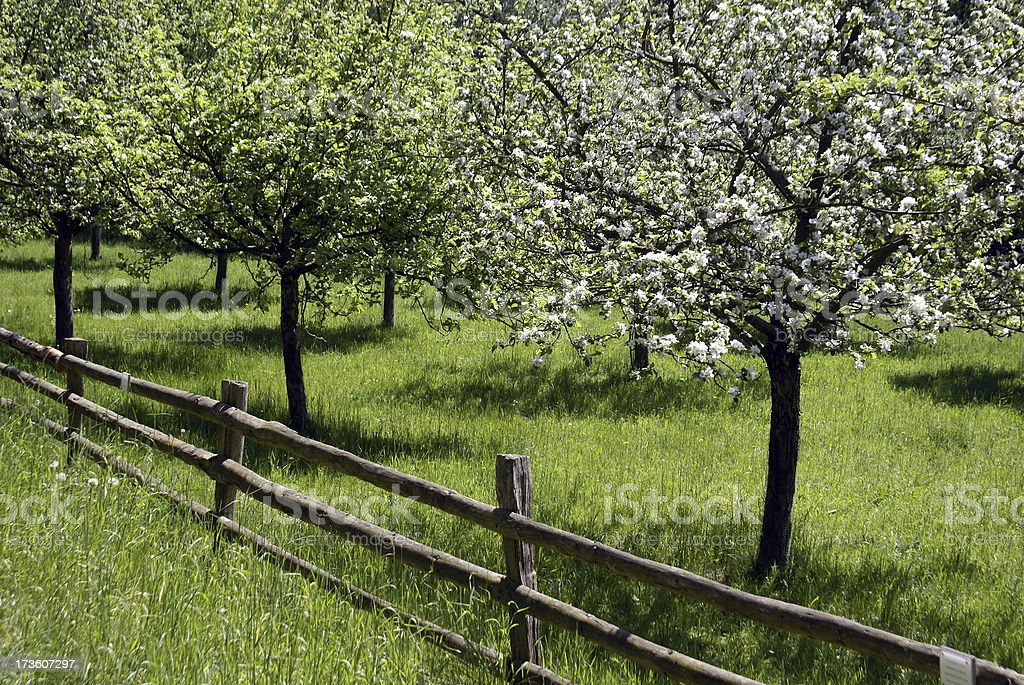 Meadow with a blossoming fruit-tree royalty-free stock photo
