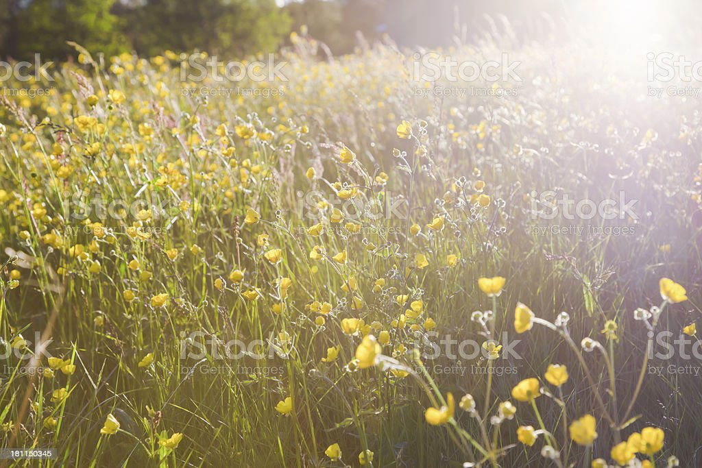 Meadow with backlit buttercups  at sunset. royalty-free stock photo