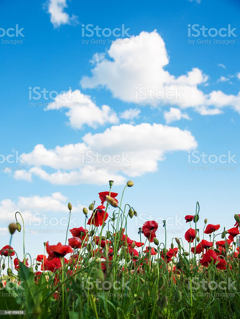 meadow with beautiful  red poppy flowers stock photo
