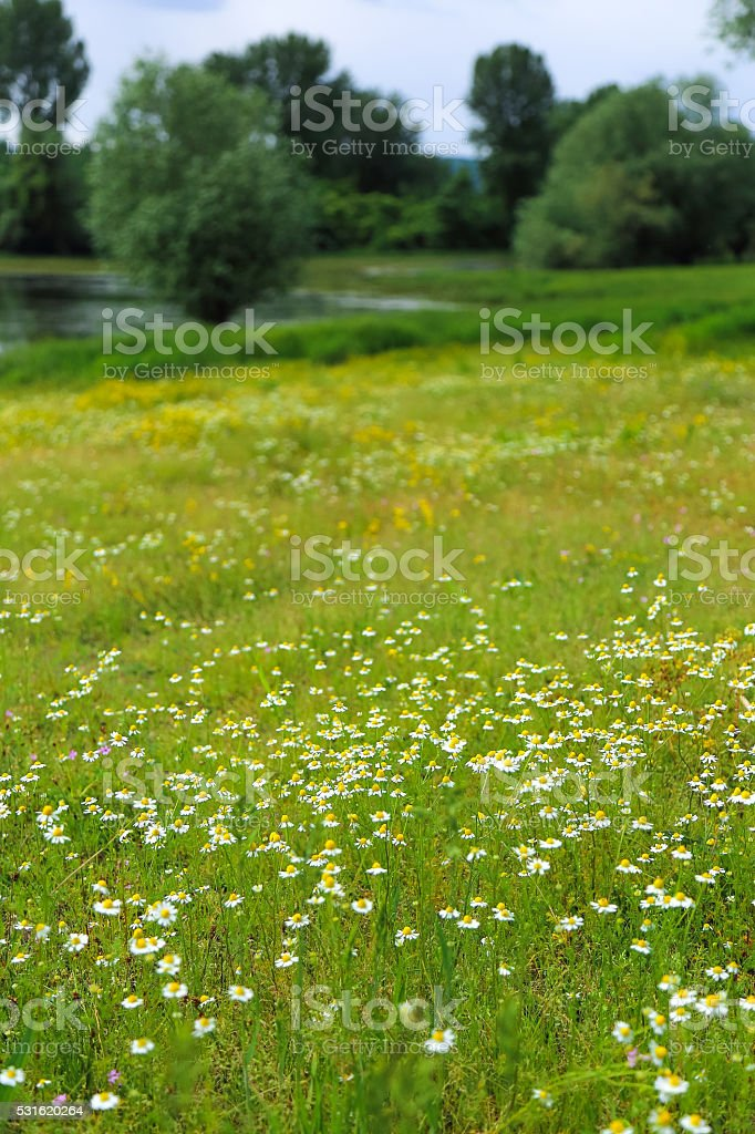 Meadow with blooming camomile (Matricaria chamomilla) by a river stock photo