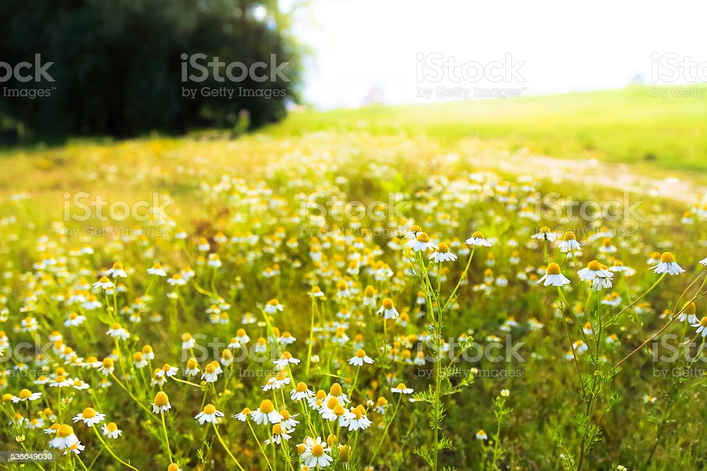 Meadow with blooming camomile (Matricaria chamomilla) stock photo