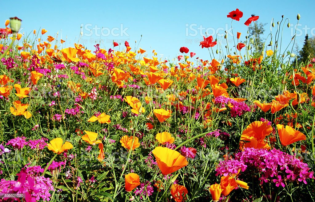 Meadow with blooming orange and purple  wildflowers stock photo