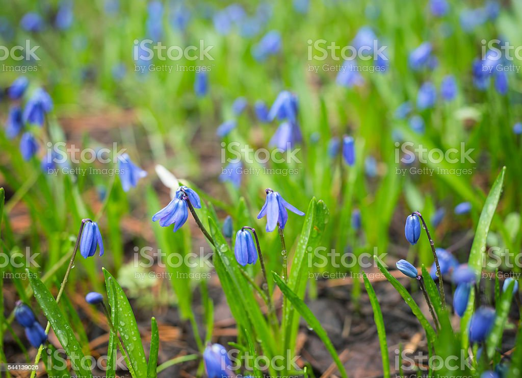 Meadow with blue flowers Scilla siberica stock photo