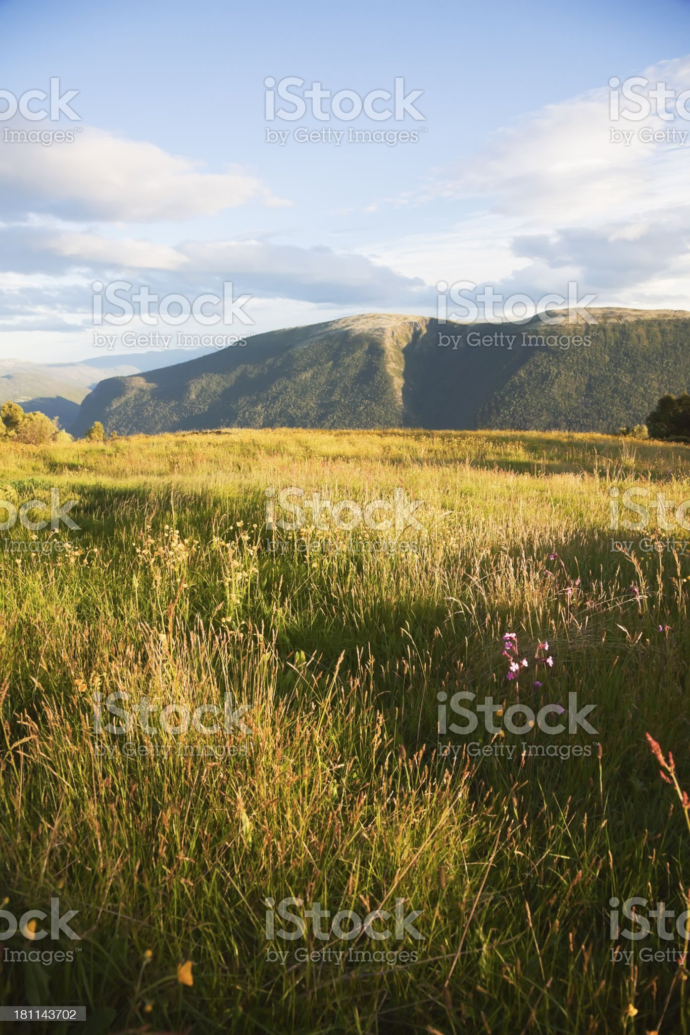 Meadow with buttercups  at sunset. royalty-free stock photo
