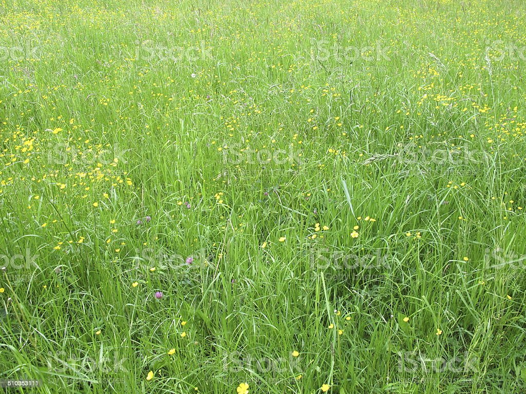 Meadow with buttercups stock photo