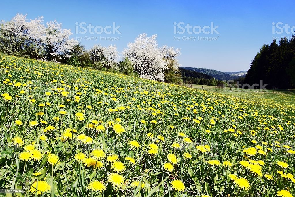 meadow with common dandelions royalty-free stock photo