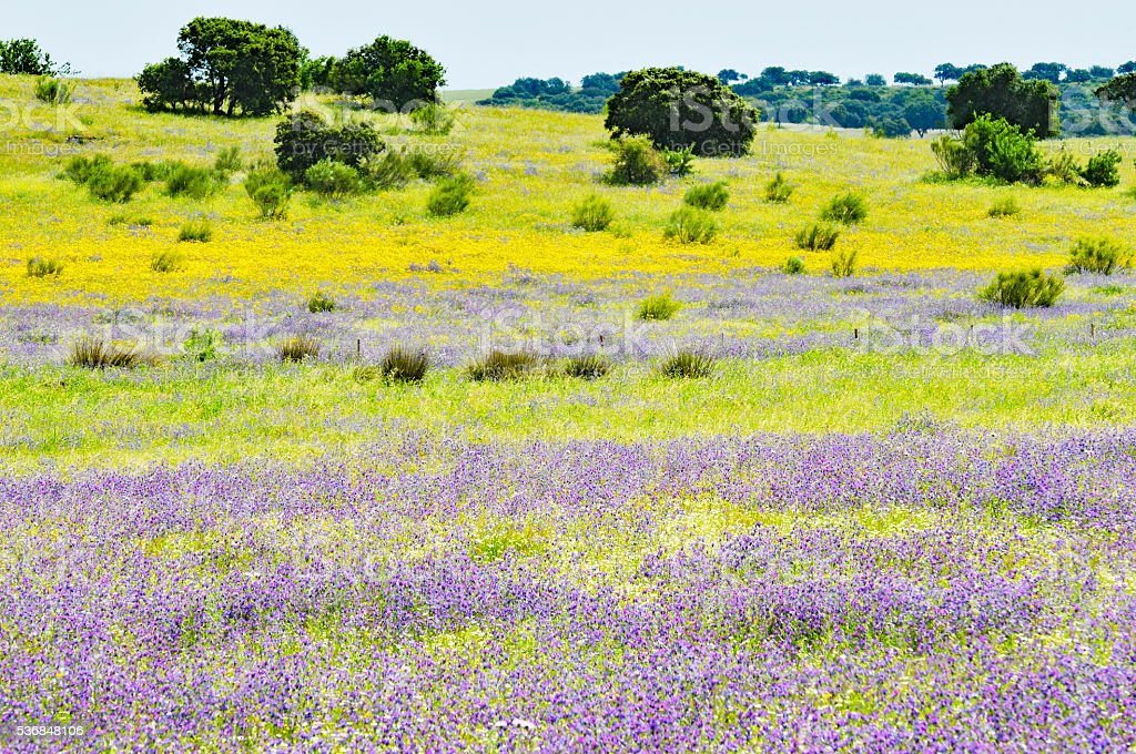 Meadow with cork trees ,yellow and purple wildflowers, Alentejo,Portugal stock photo
