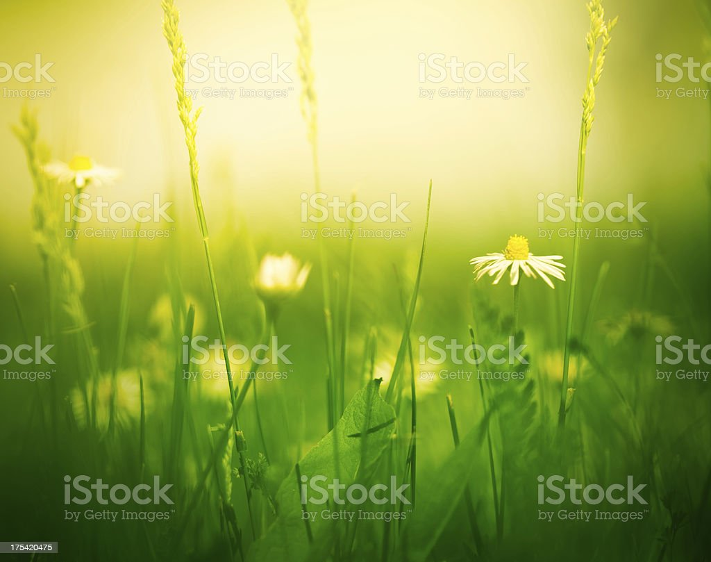 Meadow with daisies royalty-free stock photo