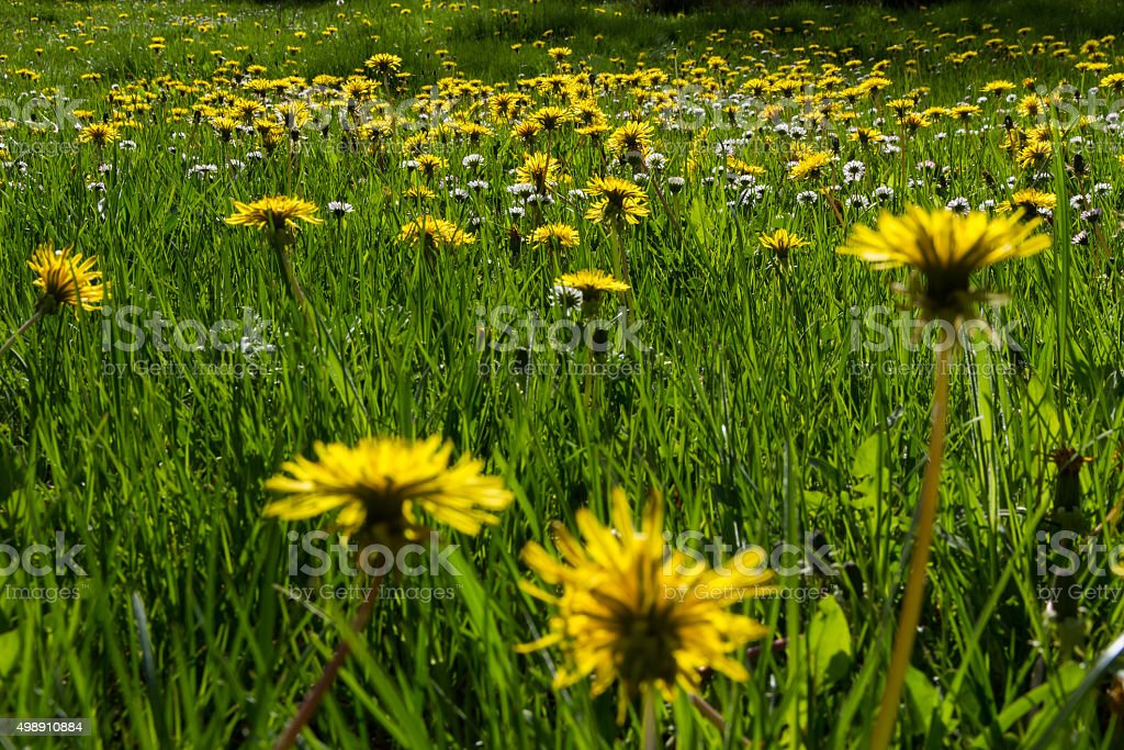 Meadow with Dandelion Flowers and Daisies - Pradera con Flores stock photo
