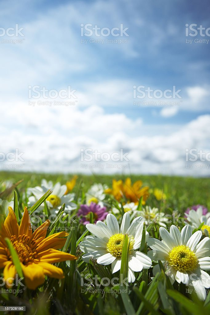 Meadow with flowers 3 royalty-free stock photo