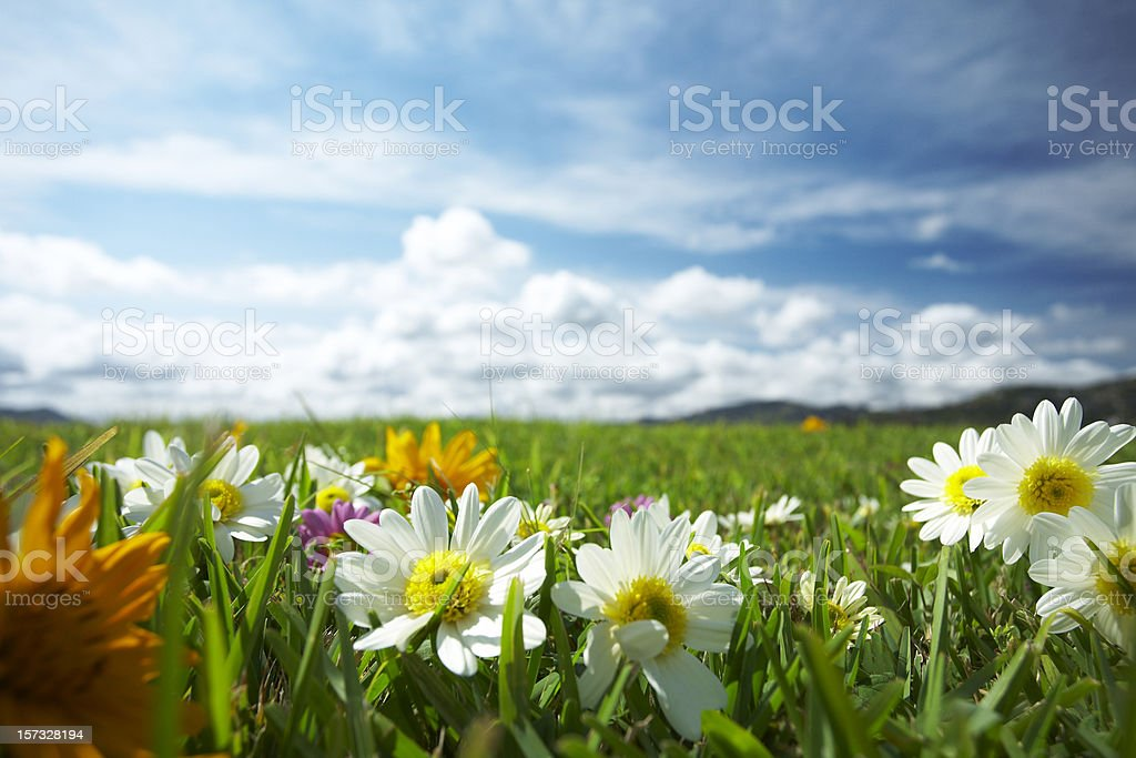 Meadow with flowers royalty-free stock photo