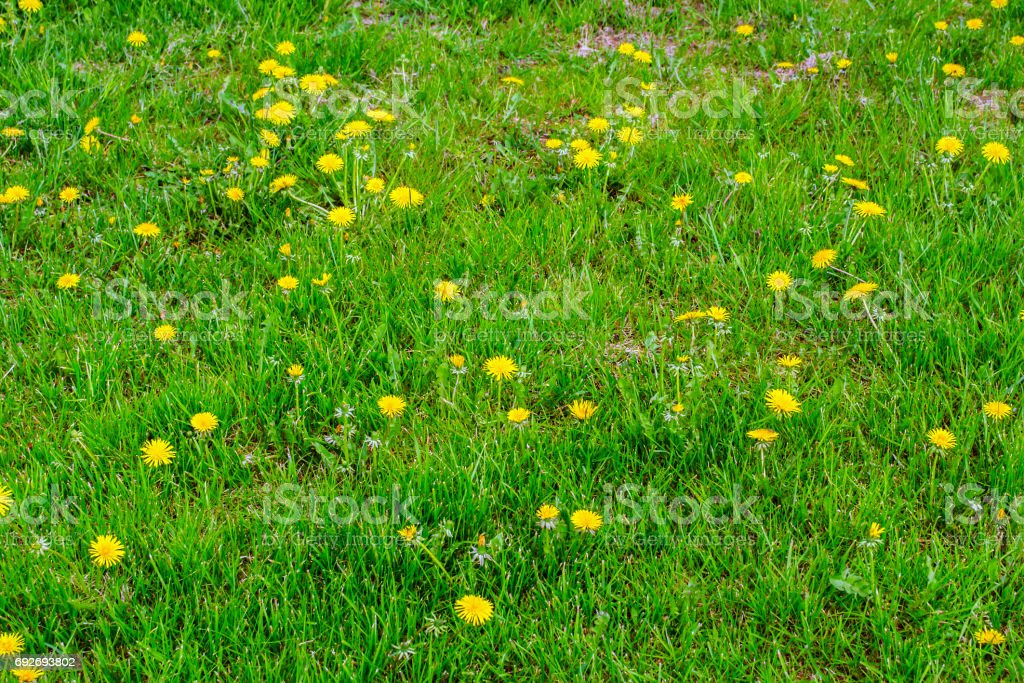 Meadow with grass and marsh marigolds on spring. stock photo