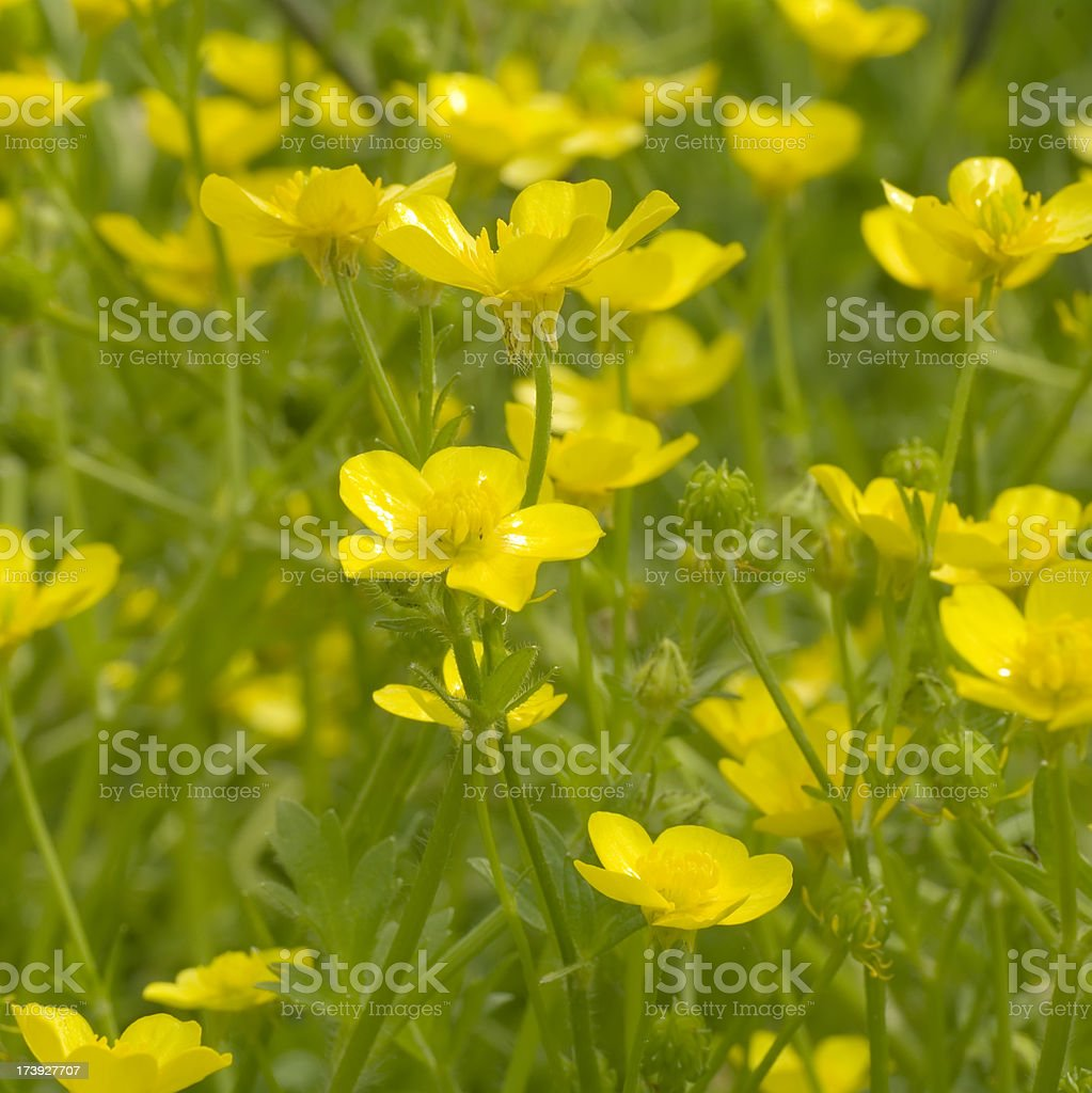 Meadow with Hairy Buttercup (Ranunculus sardous) royalty-free stock photo