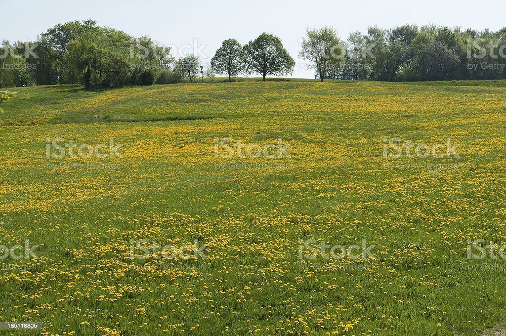 Meadow with lots of dandelions stock photo
