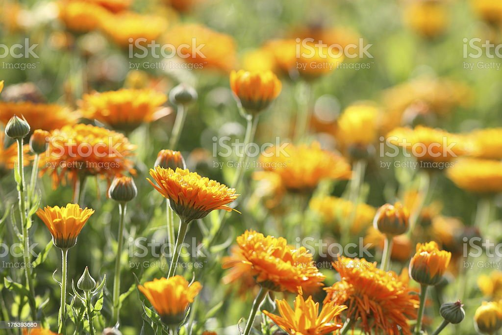meadow with pot marigold - calendula officinalis stock photo